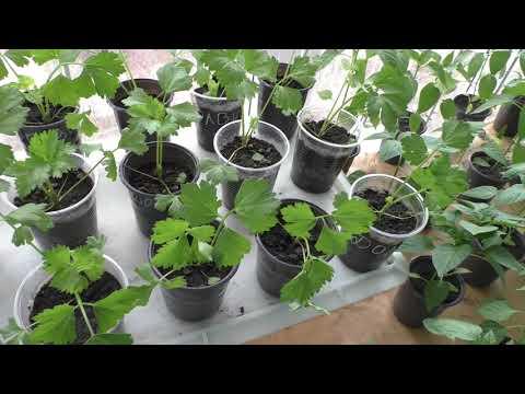 Моей рассаде корневого сельдерея два месяца, итоги выращивания.