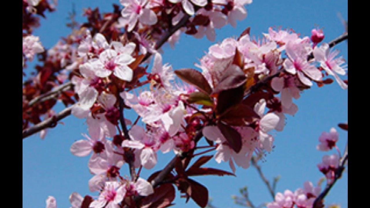 cherry plum flores de bach propiedades