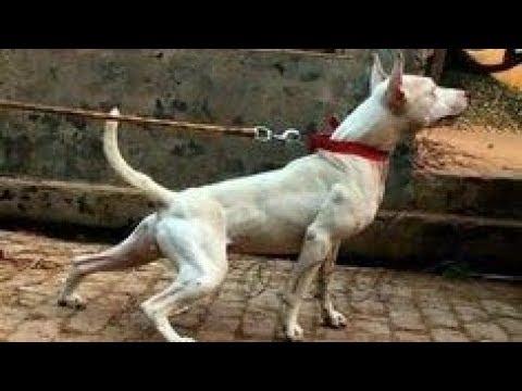 Gull Terrier ⭐ Pakistan Gladiator ⭐