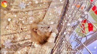 Снеговик пришел ко львам. Тайган. Snowman came to the lions Taigan.