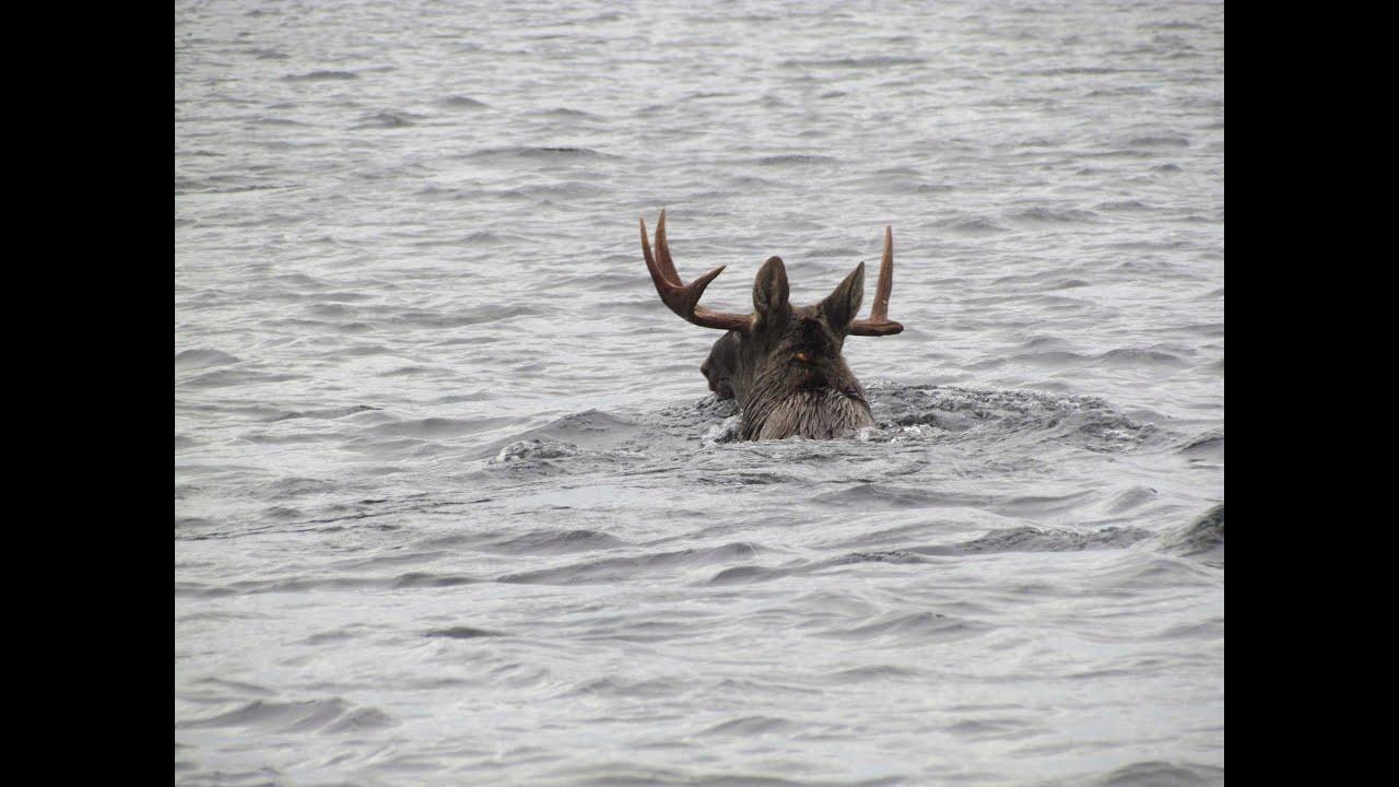 hirvi ui