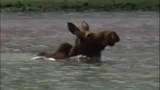 Погоня медведя за лосем
