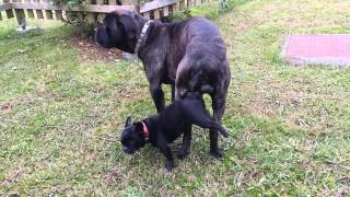 Repeat youtube video cane corso monta a perrita bulldog frances