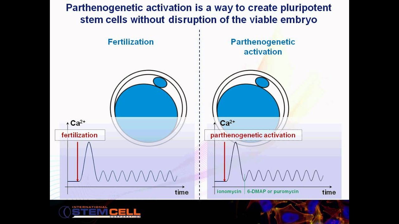 Parthenogenetic activation, animated slide