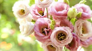 Ирландская роза - Эустома.  Выращивание из семян