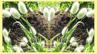 видео пампасная трава: посадка и уход, фото, размножение, сорта, выращивание в открытом грунте и сочетание в ландшафтном дизайне