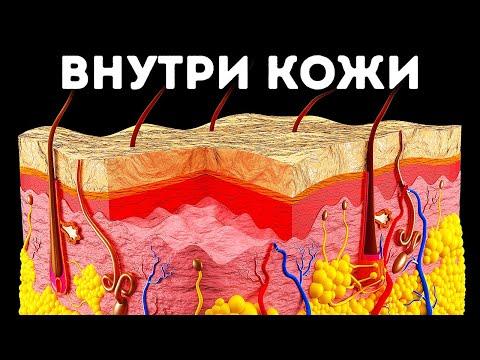 Вопрос: Чем удивительна кожа морского огурца?