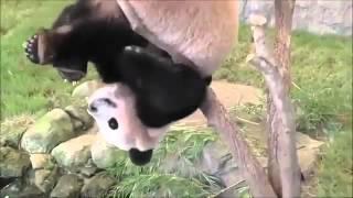 Панды ) самые милые животные