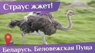 Страус зажигает! Цыганочка с выходом или танцы в Беловежской Пуще