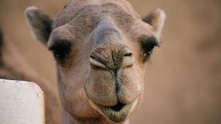 Ile rzeczy można robić z wielbłądem? - Maroko#4 [Wydymani]