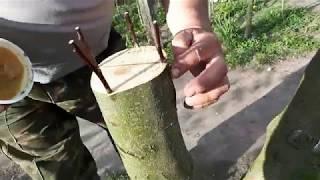 Как делать весеннюю прививку (метод за кору и в расщеп)