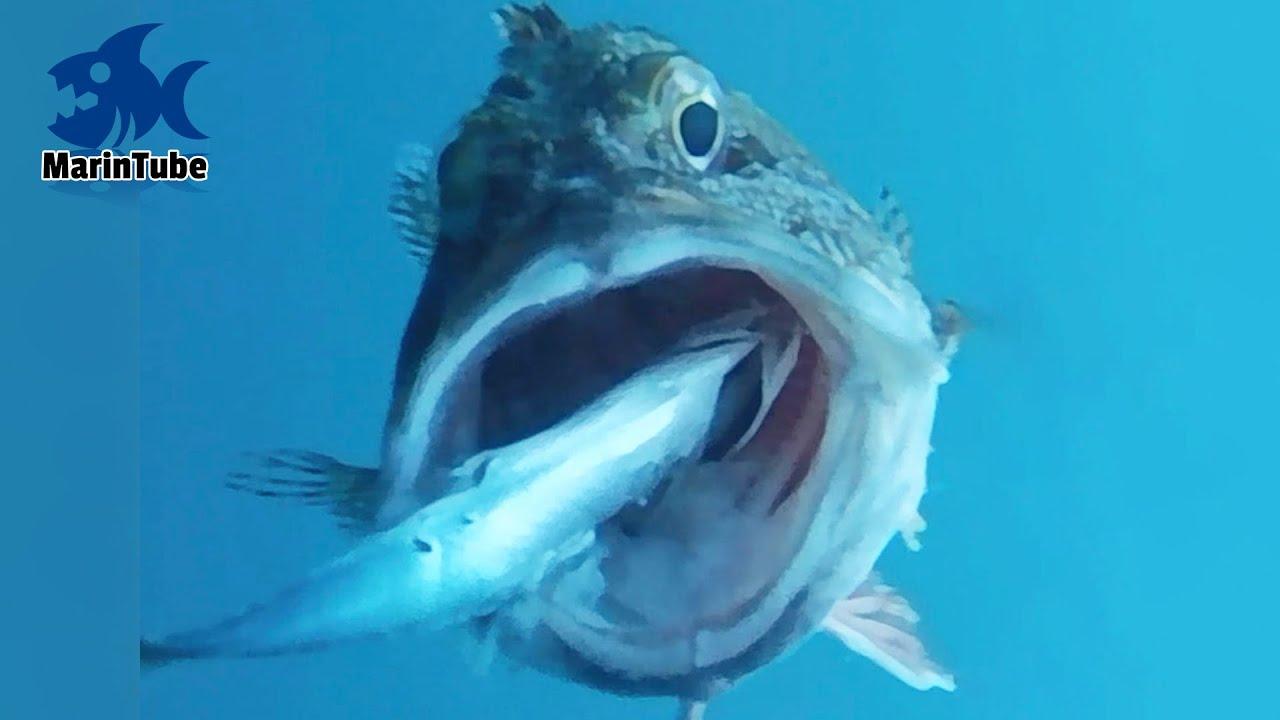 【衝撃映像】魚のド迫力捕食シーン100連発 vol.1 【MarinTube総集編】