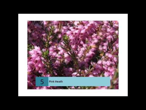 Pink Heath - Australian information and stories