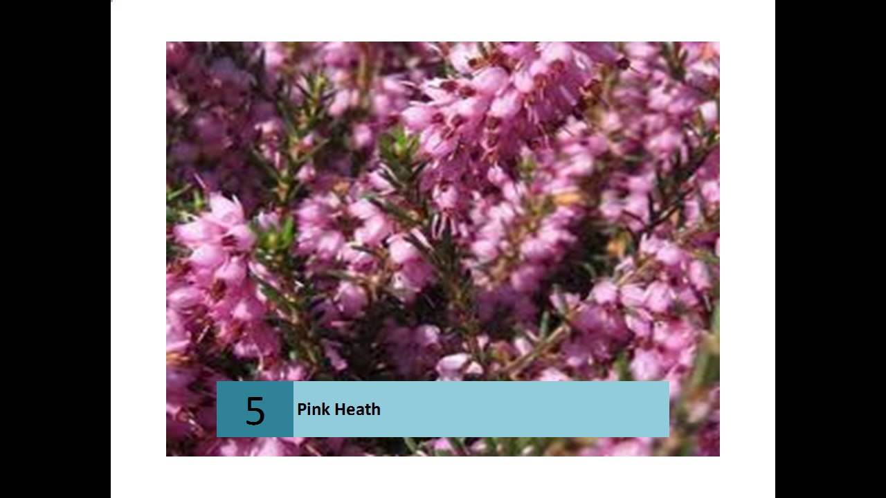 Pink Heath Australian Information And Stories Youtube