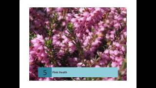 Pink Heath - Australian information and stories