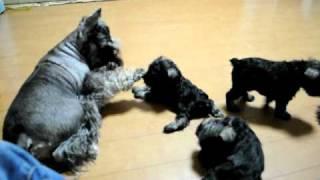 www.schnalan.com 仔犬・ストリッピング・カットetc シュナウザーの事な...