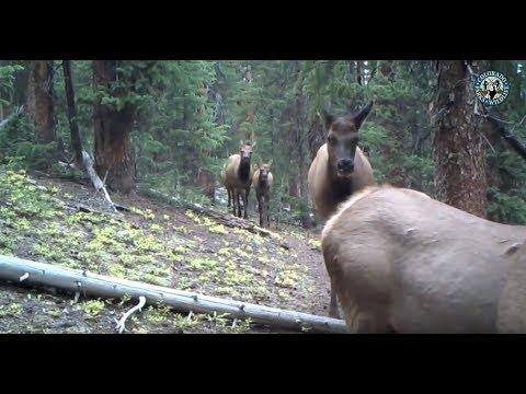 Trail Cam - Rocky Mountain Elk