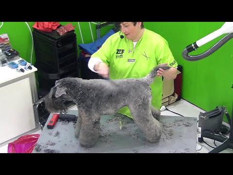 Schervorführung: Kerry Blue Terrier - Schneidetechnik