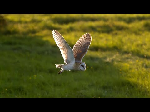 Barn Owl vs Peregrine Falcon vs Greylag Goose - Super Powered Owls - BBC