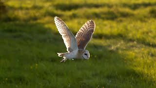 Barn Owl vs Peregrine Falcon vs Greylag Goose | Super Powered Owls | BBC