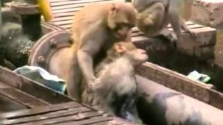 Nach Stromschlag Affe belebt Artgenossen wieder