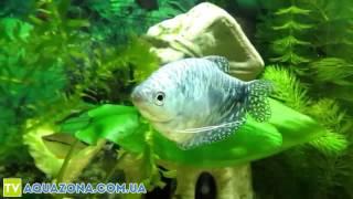 Гурами мраморный - рыбы которые чистят аквариум купить(Купить прямо сейчас рыбку для аквариума Гурами мраморный на сайте http://aquazona.com.ua/cat/akvariumnai_riba/ribka/index.html по самы..., 2014-02-04T05:05:02.000Z)