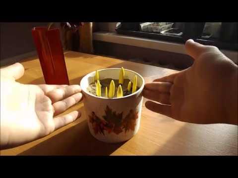 Выгонка тюльпанов к 8 Марта  Часть 2