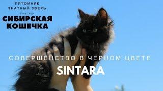 Синтара или по-домашнему Чуня :) сибирский котенок