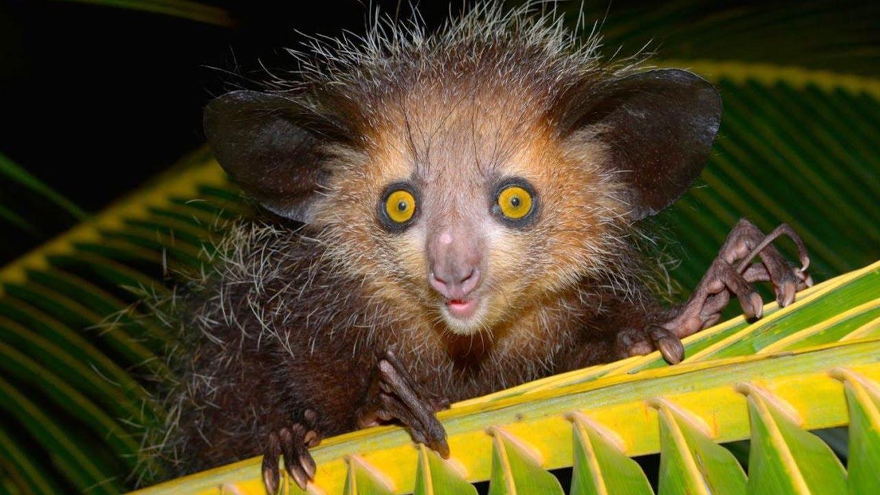 Мадагаскарская руконожка (Ай-ай) – самое странное животное! Дятел среди приматов!