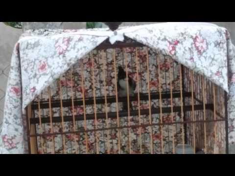 Sông kon mào lân tê giác mặt quỷ(hàng mẫu)