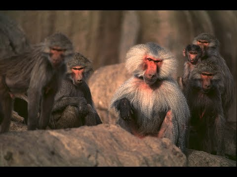 Hamadryas  The Sacred Baboon in Saudi Arabia (English)