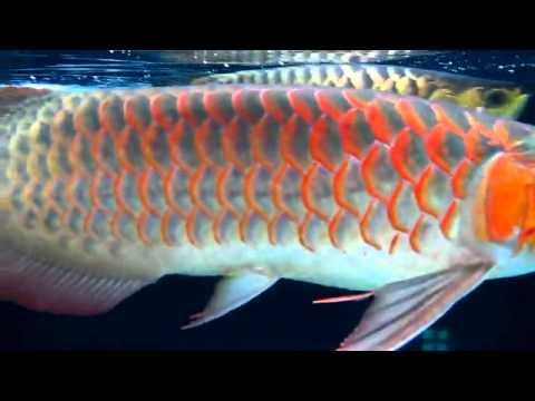 Những hồ cá đẹp   DIỄN ĐÀN CÁ RỒNG VIỆT NAM 3
