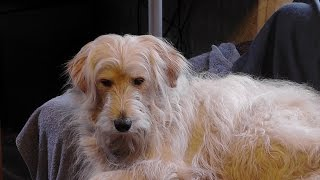 A Mixed Golden Retriever, Poodle Dog Training Video. B Set67 2015