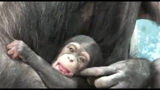 02 Too Cute! Baby chimpanzee.かわいいチンパンジーの赤ちゃん。 ZOORA...