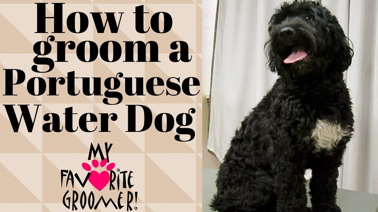 Grooming An Almost Matted Portuguese Water Dog Youtube