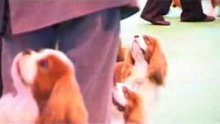 Dfs Crufts 2010 Best Of Breed Cavalier King Charles Spaniel