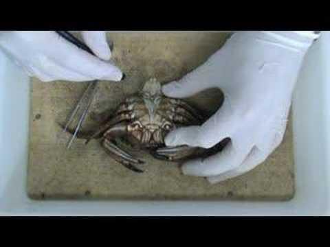 Anatomía externa de Liocarcinus puber macho - YouTube