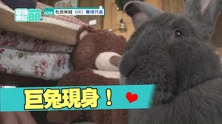 【萌寵】好大一隻兔兔啊!!你看過跟狗狗一樣大的巨兔嗎?