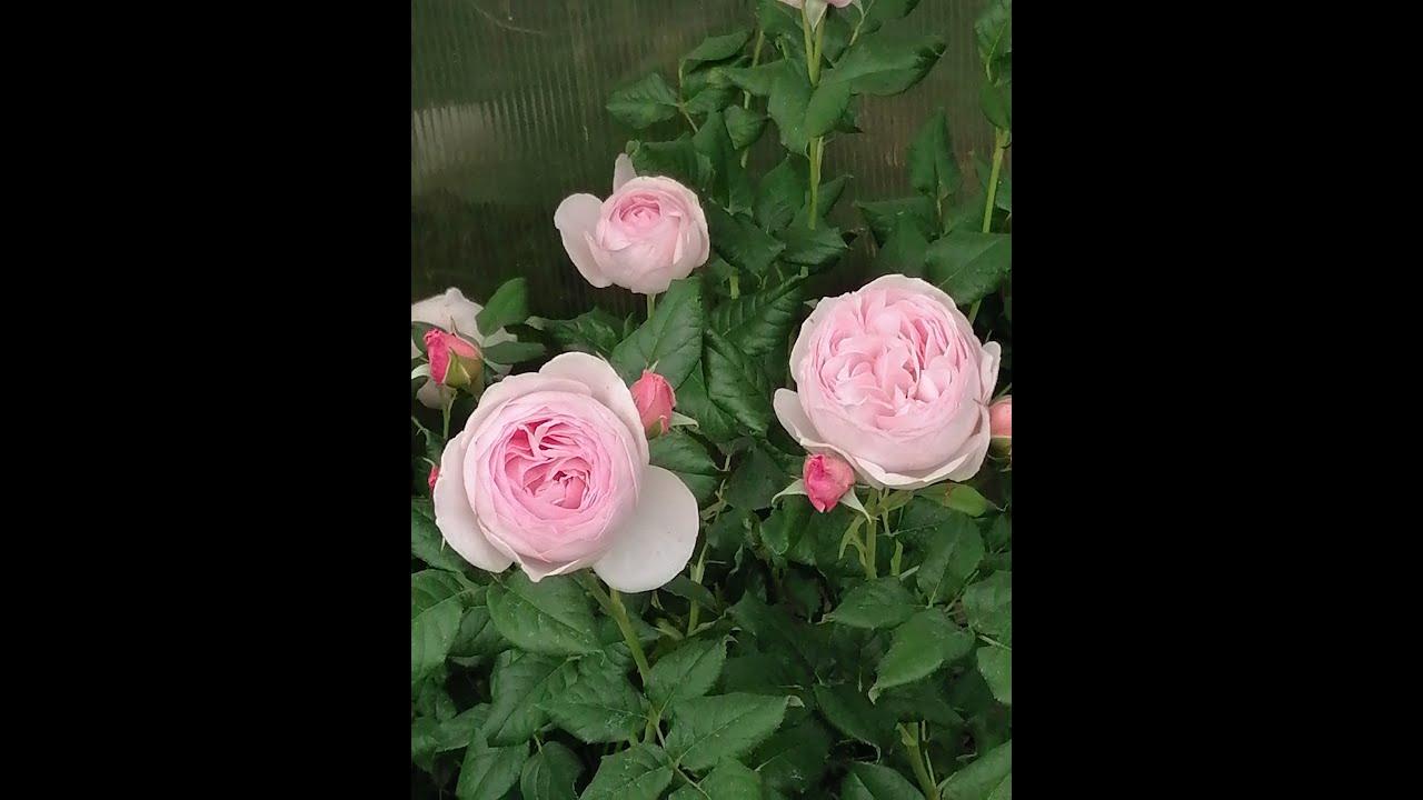 Первое цветение роз)) И нет ничего прекраснее)))