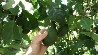 Pinkerton avocado tree care