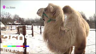 В подмосковном приюте для животных спасли верблюда
