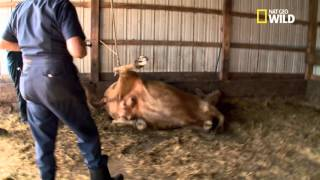 Dr Pol soigne l'abcès d'une vache