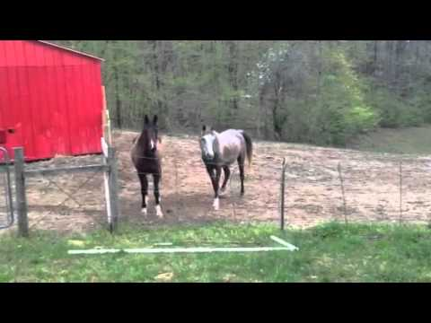 Arabian registered rescue horses after