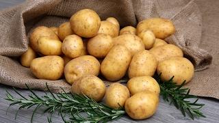 Лучшие сорта картофеля - сорта