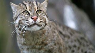あまり知られていないネコ科の動物たち15種 サビイロネコ 検索動画 9