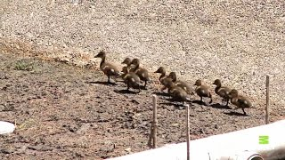 How Hard Can it Be to Herd Baby Ducklings?