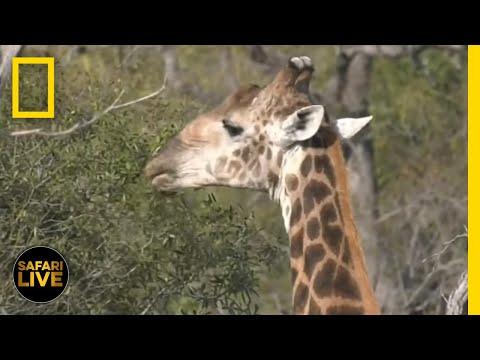 Safari Live - Day 15   National Geographic