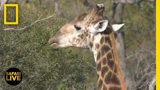 Safari Live - Day 15 | National Geographic