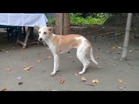 Funny Dog Dancing   Funny Animal Video