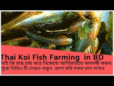Fish Farming । থাই কৈ মাছ চাষ করে